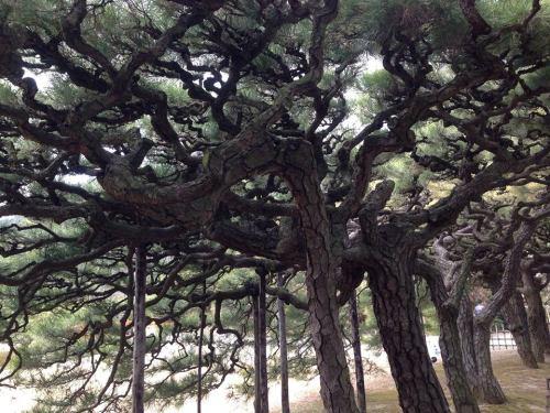 栗林公園の松2.jpg