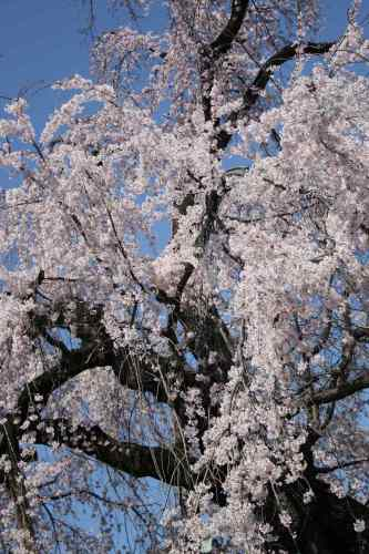 drooping cherry planted in Kitain Temple