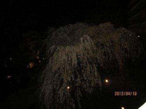 IMG_2092夜桜.jpg