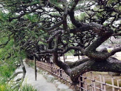 栗林公園の松6.jpg
