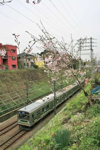 Tokyu 1000 Series with cherry blossoms above cut