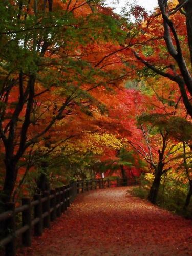 神戸市立森林植物園森林ライトアップもみじ散策2.jpg