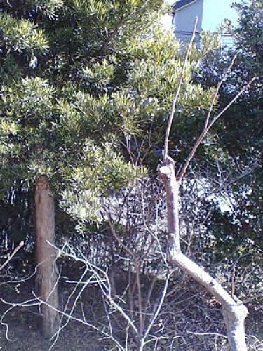 柿木剪定2.jpg