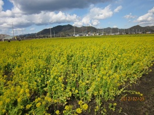 IMG_1673菜の花.jpg