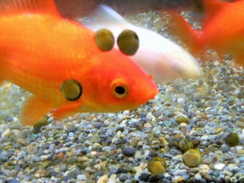金魚と石巻貝