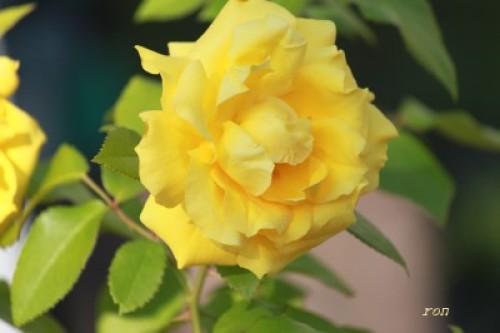 薔薇(H24.6.30) 034.JPG