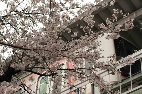Cherry blossoms and Tokyu 5050-4000 Series