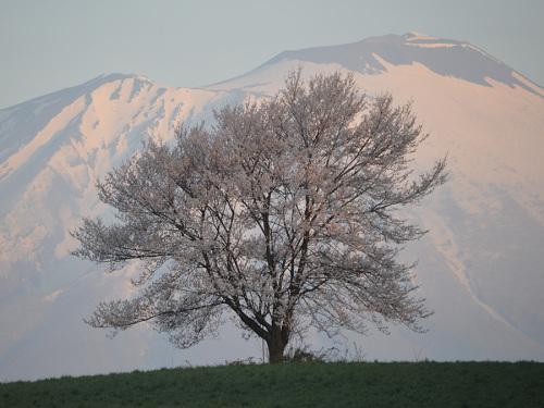 0429三角山の一本桜3.jpg