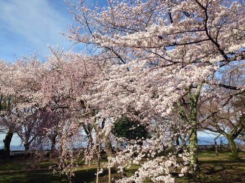 彦根城・桜5.jpg