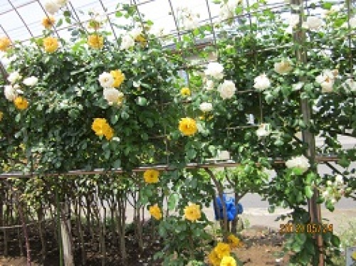IMG_2327黄色と白のバラ.jpg