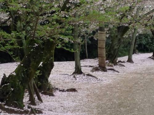 栗林公園・桜の絨毯5.jpg