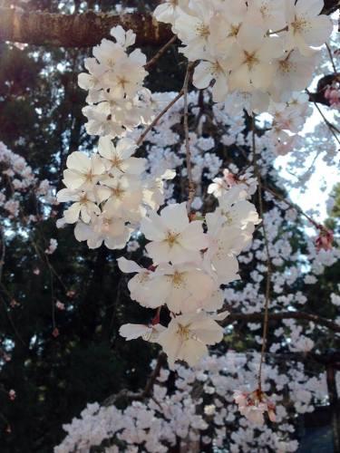 土佐国分寺の枝垂桜.jpg