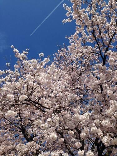 彦根城の桜と飛行機雲.jpg