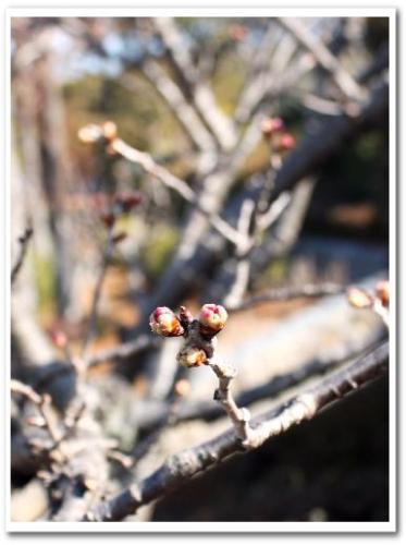 梅の蕾.jpg
