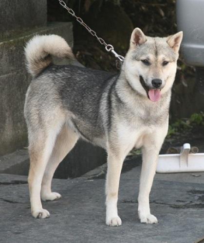 紀州犬の画像 p1_36