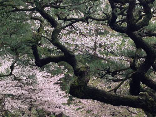 栗林公園・松と桜.jpg