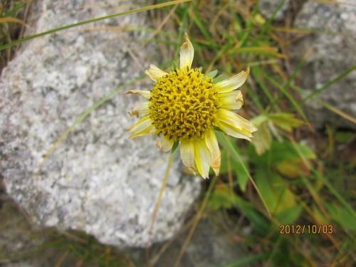 IMG_3334黄色い花.jpg