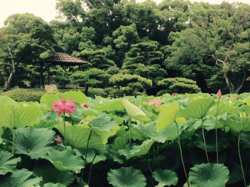 栗林公園・蓮8.jpg
