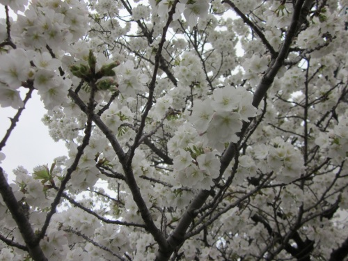 IMG_4512 30日遅咲きの桜.jpg