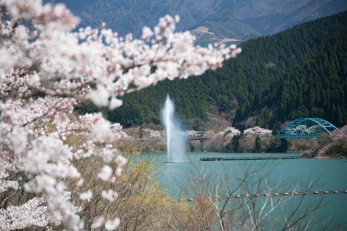 熊本県水上村市房ダムの桜.jpg