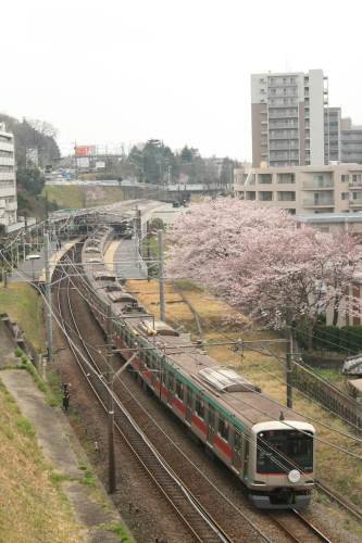 Tokyu 5000 Series with cherry blossoms beside track