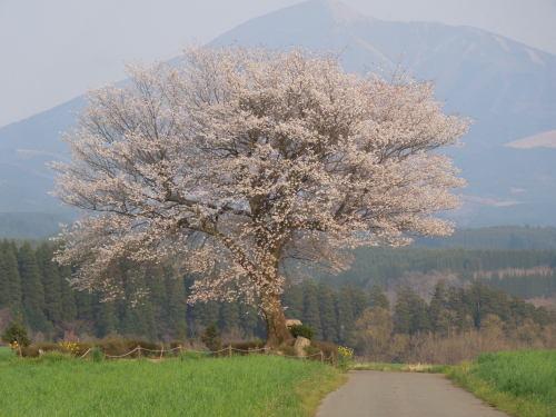 熊本地震阿蘇郡小国町前原一本桜.jpg