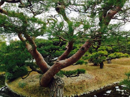栗林公園の松3.jpg