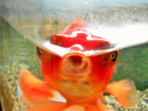 金魚の変顔
