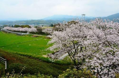 熊本県益城町の桜.jpg