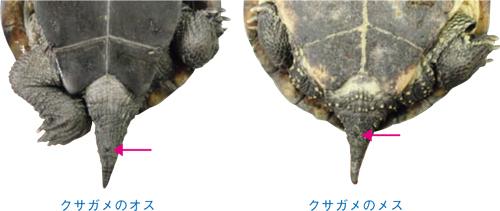 クサガメの画像 p1_31