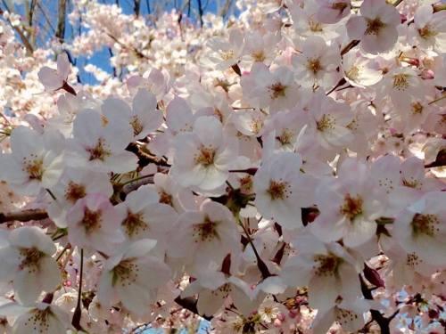 松山総合公園の桜.jpg