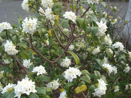 白の沈丁花.jpg