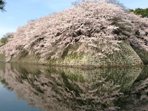 2016-04-06 06.彦根城の濠と桜