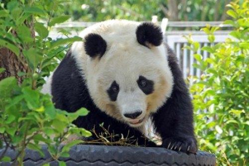 王子動物園パンダ.jpg