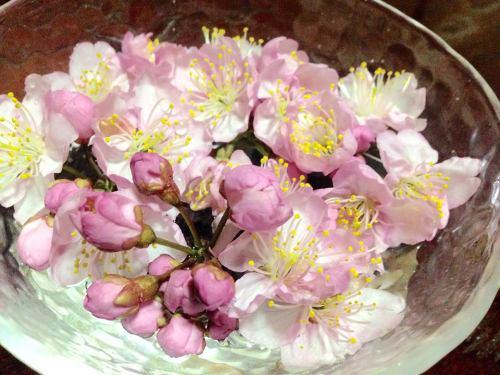 雪割り桜3.jpg