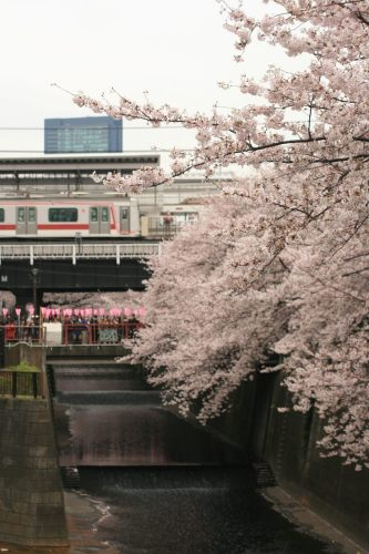 Tokyu 5050 Series and cherry blossoms from Horai Bridge on Meguro Liver