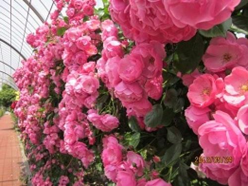 IMG_2312香り良いピンクのバラ.jpg