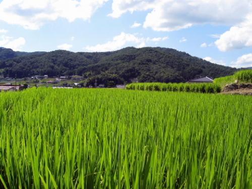 田んぼ.jpg