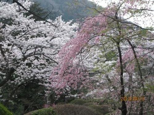 IMG_2119桜1.jpg