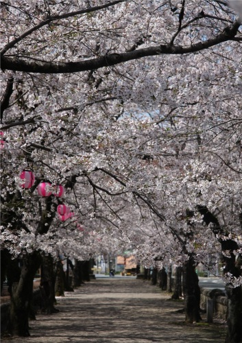 熊本地震菊池公園の桜.jpg