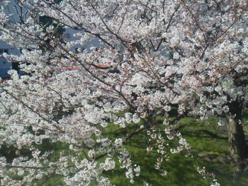ベランダの桜(2015.3.31).JPG