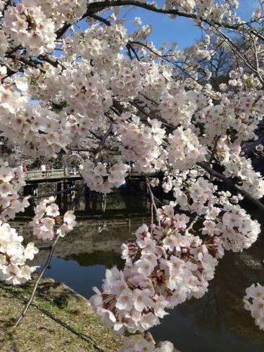彦根城・桜3.jpg