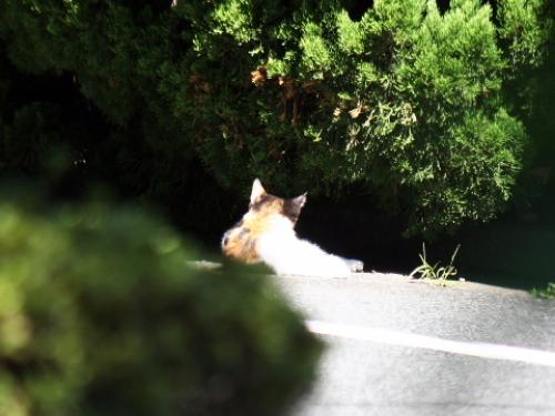 日なたぼっこする三毛の子猫