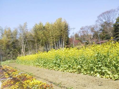 菜の花に竹林.JPG
