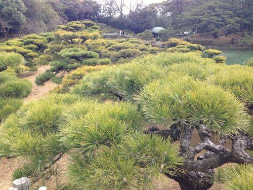 栗林公園の松4.jpg