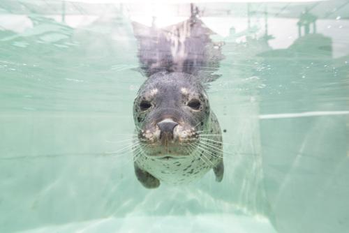 神戸市立須磨海浜水族園のゴマフアザラシその2.jpg