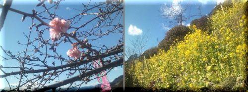 桜も一枝-1.jpg