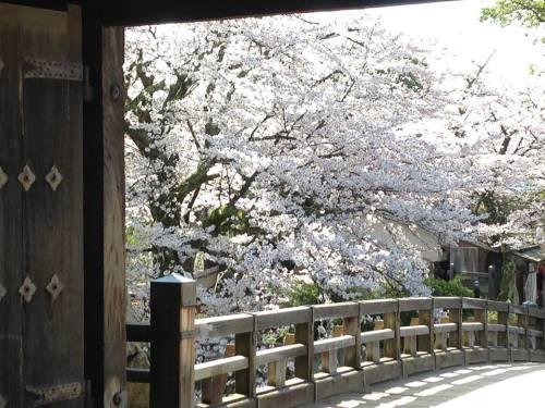 彦根城・桜2.jpg