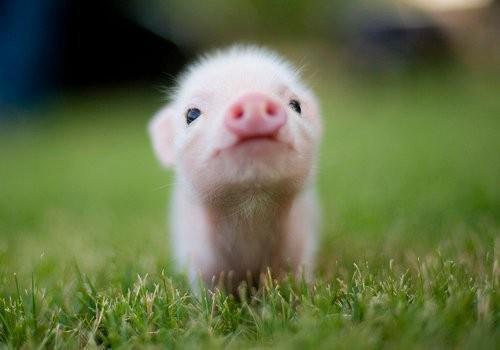 こちらを見つめる豚