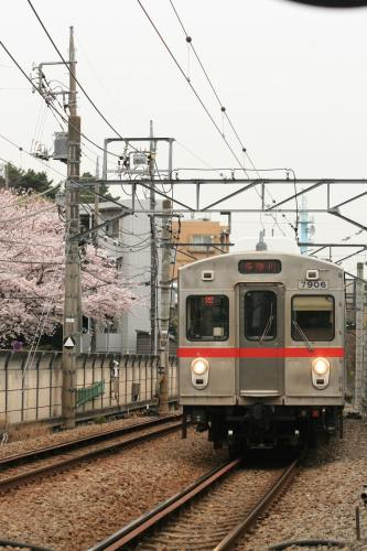 Tokyu 7700 Series with cherry blossoms beside track